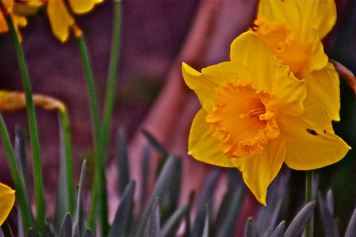 daffodils by eat crow