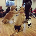 Two golden Labradors at a puppy petting session.