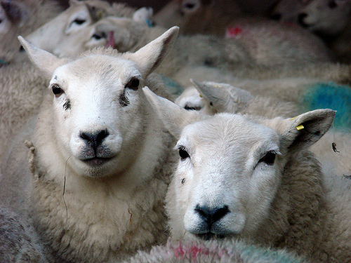 Image of two sheep of the same breed as Dolly